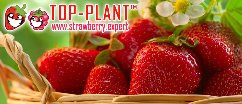 Fresh strawberry fruits from Poland