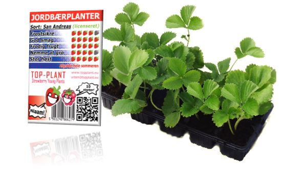 Jordbærplanter 10-pack TOP-PLANT b