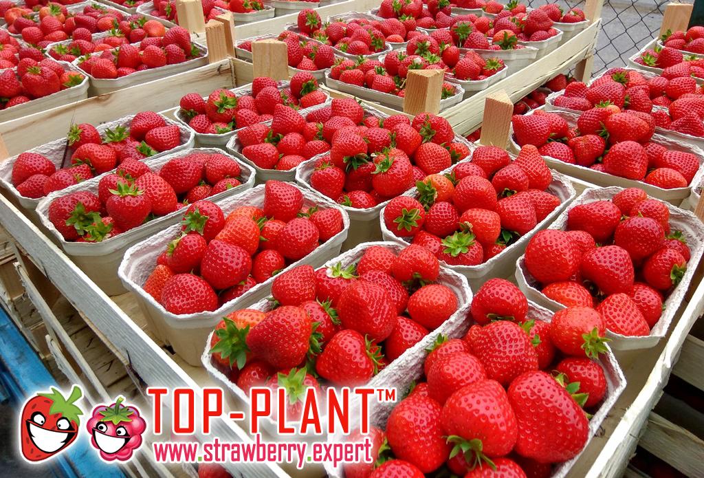 www.strawberry.expert (a)